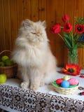Porträt einer erwachsenen persischen Katze, die auf dem Küchentisch sitzt stockfotografie