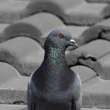 Porträt einer erwachsenen Taube Stockfotos