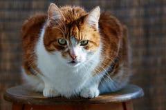 Porträt einer europäischen Katze Lizenzfreies Stockfoto