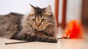 Porträt einer flaumigen gestreiften Katze Lizenzfreies Stockfoto