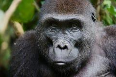 Porträt einer Frau des Westtieflandgorillas stockfoto