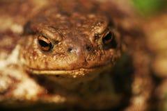 Porträt einer gemeinen Kröte (Bufo-bufo) Stockfotografie