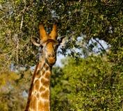 Porträt einer Giraffe Stockbild