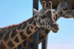 Porträt einer Giraffe Lizenzfreie Stockbilder