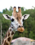Porträt einer Giraffe Stockfotos