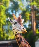 Porträt einer Giraffe lizenzfreies stockfoto