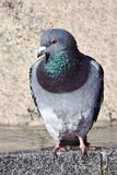 Porträt einer grauen Taube stockfotografie