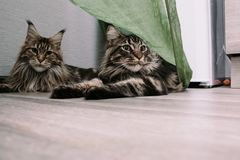 Porträt einer großen flaumigen Maine Coon-Katze stockbilder