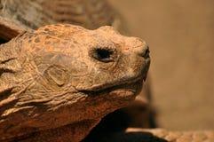 Porträt einer großen Schildkröte Stockbild