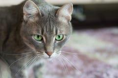 Porträt einer Hauskatze mit grünen Augen Stockfotografie