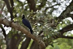 Porträt einer indischen Krähe lizenzfreie stockbilder