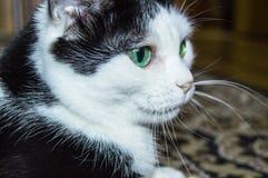 Porträt einer inländischen Schwarzweiss-Katze mit schönen grünen Augen, die Katze liegt und schaut nah, Nahaufnahme lizenzfreie stockfotos