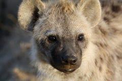 Porträt einer Jugendlicher beschmutzten Hyäne Lizenzfreie Stockfotografie