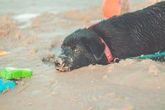 Porträt einer jungen Katze, die zum cameraBlack Labrador retriever gräbt in den Sand schaut Hund auf dem Strand stockfotografie