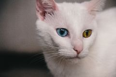 Porträt einer Katze mit Heterochromia stockfotografie