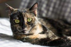 Porträt einer Katze, welche die Kamera betrachtet Lizenzfreies Stockbild