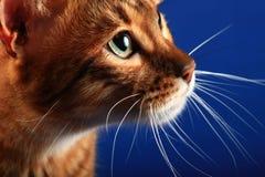 Porträt einer Katzenzucht Toyger auf einem blauen Hintergrund Stockbild