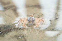 Porträt einer Krabbe Lizenzfreies Stockbild
