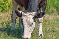 Porträt einer Kuh gegen einen Hintergrund der grünen Vegetation Stockbild