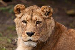 Porträt einer Löwin Lizenzfreies Stockfoto