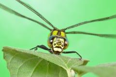 Porträt einer Libelle auf einem grünen Blatt Stockbilder