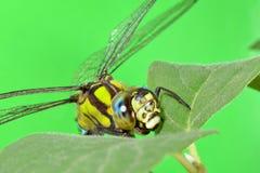 Porträt einer Libelle auf einem grünen Blatt Lizenzfreie Stockbilder