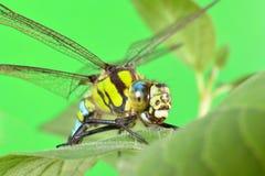 Porträt einer Libelle auf einem grünen Blatt Lizenzfreies Stockfoto