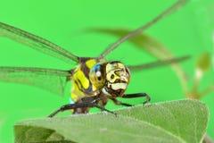 Porträt einer Libelle auf einem grünen Blatt Stockfotografie