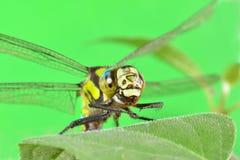Porträt einer Libelle auf einem grünen Blatt Lizenzfreies Stockbild