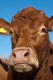 Porträt einer Limousin-Kuh Stockbilder