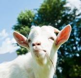 Porträt einer lustigen Ziege Lizenzfreies Stockbild