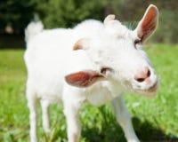 Porträt einer lustigen Ziege, Abschluss oben Lizenzfreies Stockbild