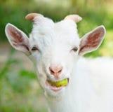 Porträt einer lustigen Ziege, die einen Apfel kaut Lizenzfreie Stockfotografie