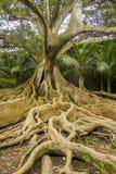 Porträt einer mächtigen Moreton-Buchtfeige mit seinen riesigen Wurzeln am Vordergrund stockbilder