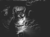 Porträt einer majestätischen und stolzen Katze Lizenzfreies Stockfoto
