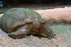 Porträt einer Nahaufnahme der riesigen Schildkröte stockbild
