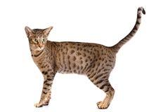 Porträt einer ocicat Katze auf einem weißen Hintergrund stockfotos