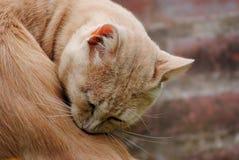 Porträt einer orange Katze in der Natur Stockfotografie