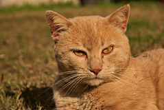 Porträt einer orange Katze in der Natur Lizenzfreie Stockfotos