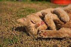 Porträt einer orange Katze in der Natur Stockbilder