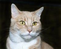 Porträt einer orange und weißen Katze der getigerten Katze auf einem Holzkohlengrau-BAC lizenzfreies stockbild