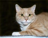 Porträt einer orange und weißen Katze der getigerten Katze auf einem Holzkohlengrau-BAC stockbilder