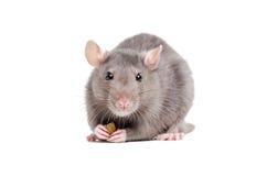 Porträt einer Ratte, die ein Stück Lebensmittel in seinen Tatzen hält stockbild