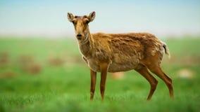Porträt einer saiga Antilope lizenzfreie stockfotografie