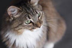Porträt einer schönen flaumigen Katze auf einem schwarzen Hintergrund mit einem hohen Winkel Lizenzfreies Stockbild