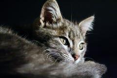 Porträt einer schönen Katze der grünen Augen auf einem schwarzen Hintergrund Lizenzfreie Stockfotos