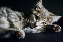 Porträt einer schönen Katze der grünen Augen auf einem schwarzen Hintergrund Stockbild