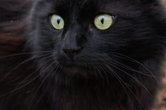 Porträt einer schönen schwarzen Katze Chantilly Tiffany zu Hause Stockbild