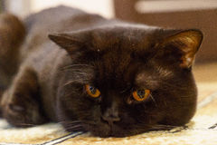 Porträt einer schwarzen britischen Katze mit orange Augen Stockfotos