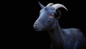 Porträt einer schwarzen Ziege auf einem schwarzen Hintergrund Lizenzfreies Stockbild